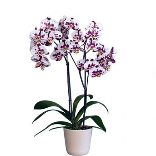 Купить на заказ Заказать Орхидея микс. с доставкой по Степногорску с доставкой в Степногорске