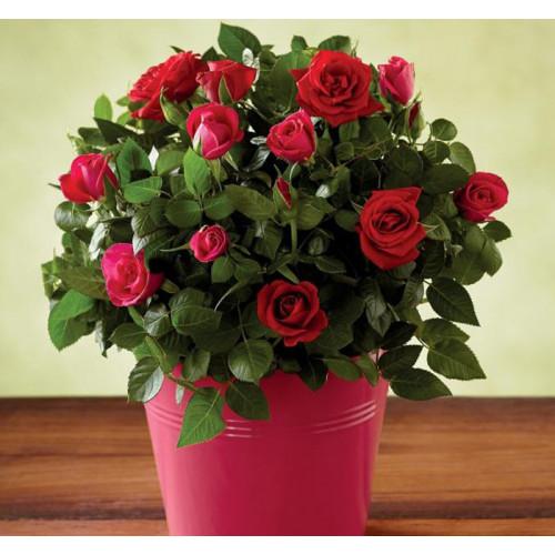 Купить на заказ Заказать Роза комнатная с доставкой по Степногорску с доставкой в Степногорске
